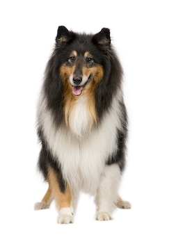 Rough collie (9 years)