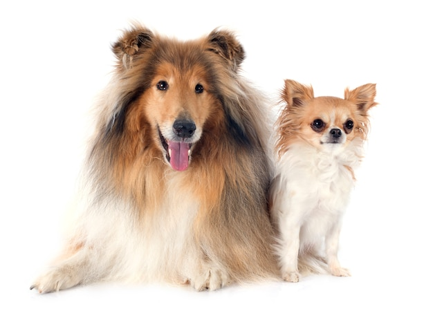 Rough collie and chihuahua