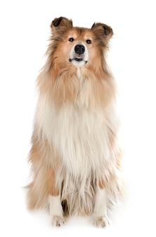 Rough collie dog isolated