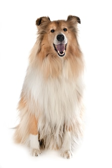 Rough collie isolated