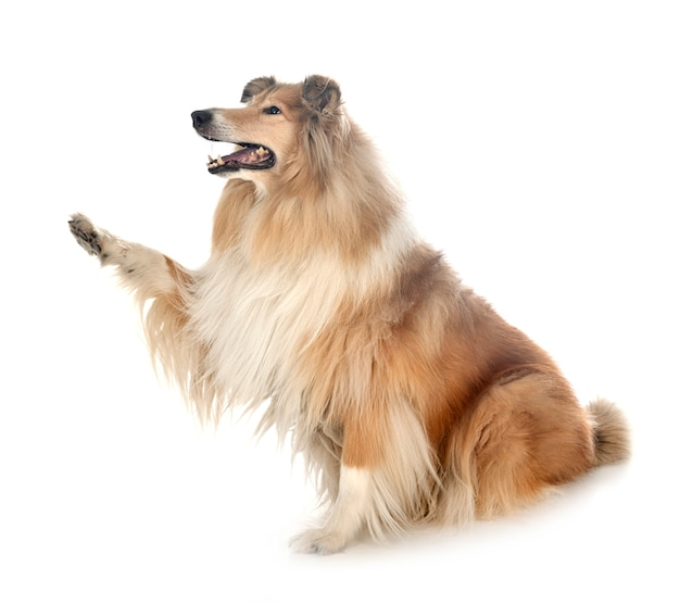 Rough collie on white