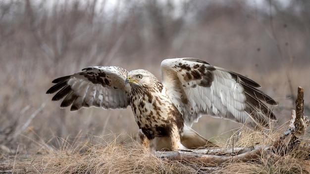 アカアゲハ、buteo lagopusは、開いた翼で地面に立っています