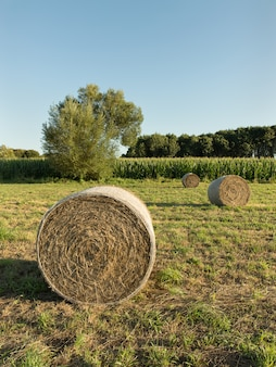 Round bales of hay harvested in a agricultural field. blue sky
