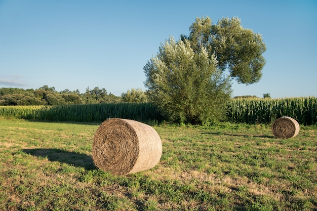 Round bales of hay harvested in a agricultural field