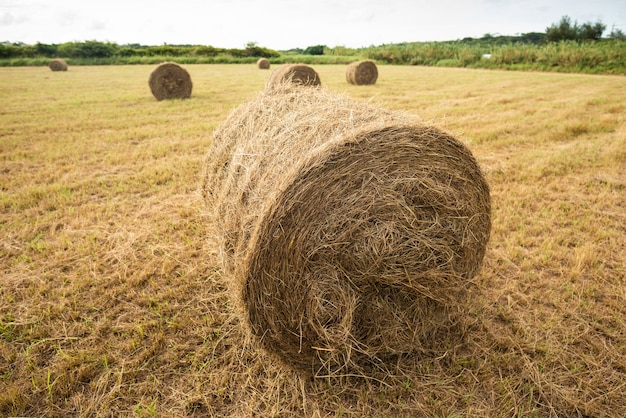 Round bundles of dry grass in the agriculture field at tropical island.
