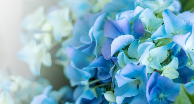 Rounded clusters of hydrangea macrophylla altona blue flowers. background of colorful in blur
