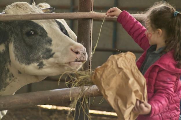 Rovigo, italy 2020년 2월 19일: 농장 소와 함께 마구간에서 노는 아이들