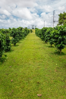Row of coffee trees at coffee plantation on oahu island