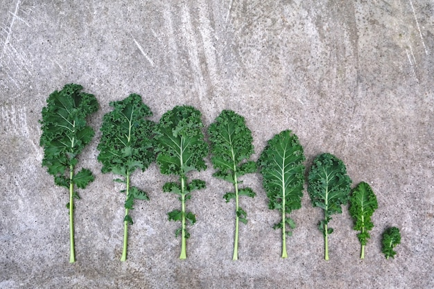 Row of curly-leaf kale cabbage from large to small on grey cement background. healthy food
