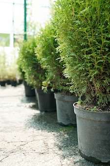Row of huge clay or ceramic pots with soil and growing seedlings of evergreen bushes standing on the floor of contemporary greenhouse