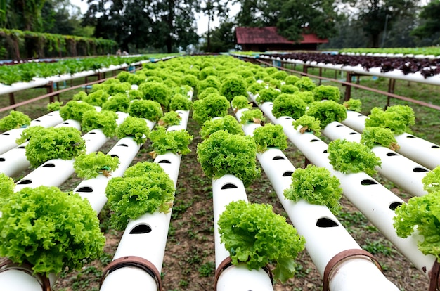 Row of hydroponic vegetables outdoor plantation .