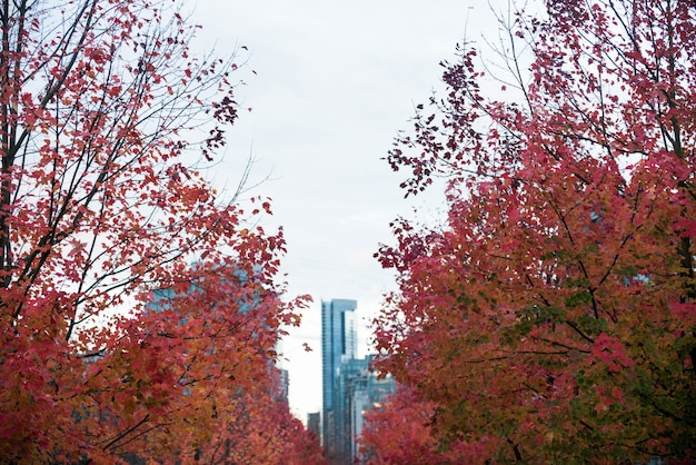 Row of maple trees in the city