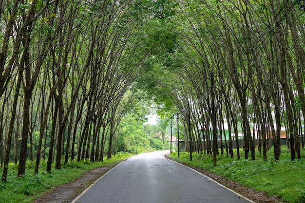 Row of natural tunnel of rubber plantation from the south of thailand