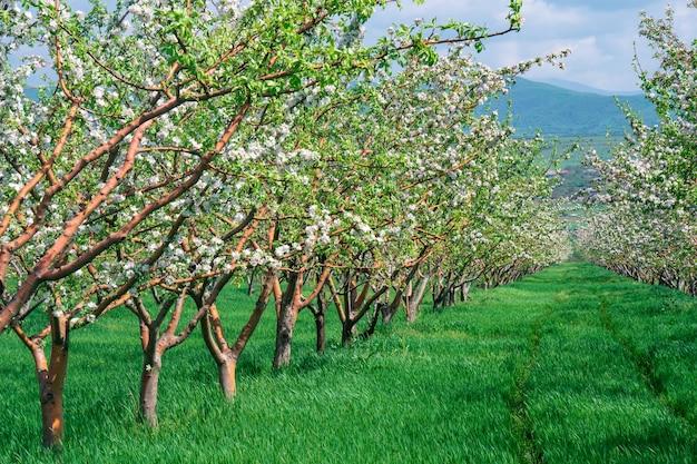 装飾的なリンゴと果樹の美しい咲く列。農業