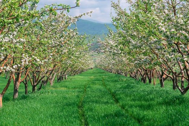 装飾的なリンゴと果樹の美しい開花の列