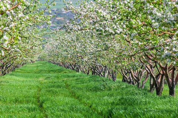 장식 사과와 과일 나무의 아름다운 개화의 행