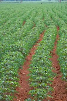 Ряд маниоки в поле