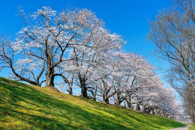 Ряд деревьев цветущей вишни весной, киото в японии.