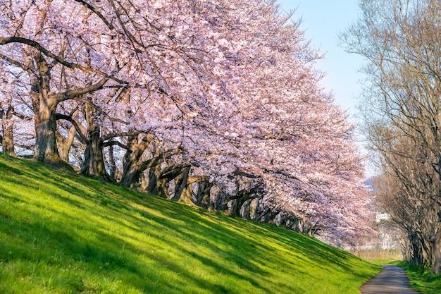 日本の京都、春の桜の木の列。