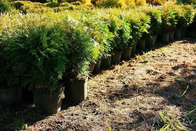 園芸植物thujaoccidentalisの植木鉢の列