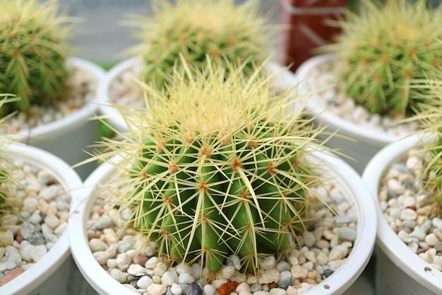 선택적 포커스와 황금 배럴 선인장 식물의 행