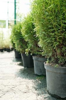 현대 온실 바닥에 서 있는 상록수 덤불과 흙이 있는 거대한 점토 또는 세라믹 냄비 줄