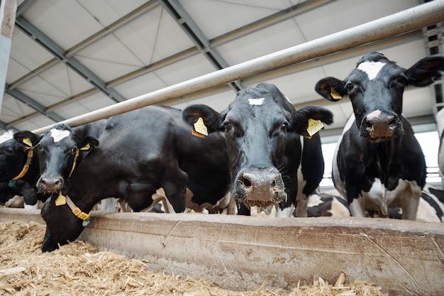 大規模な家畜小屋の中にフェンスのそばに立っている間あなたを見ている複数の乳牛の口輪が並び、そのうちの1人は干し草を食べています