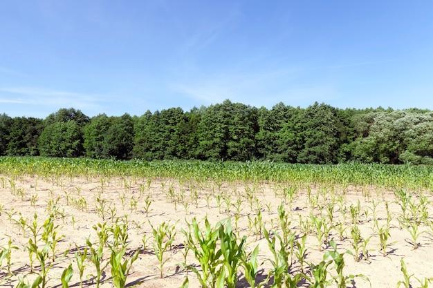 Ряд залитой солнцем молодой зеленой кукурузы. пейзаж сельскохозяйственного поля с голубым небом и деревьями в лесу