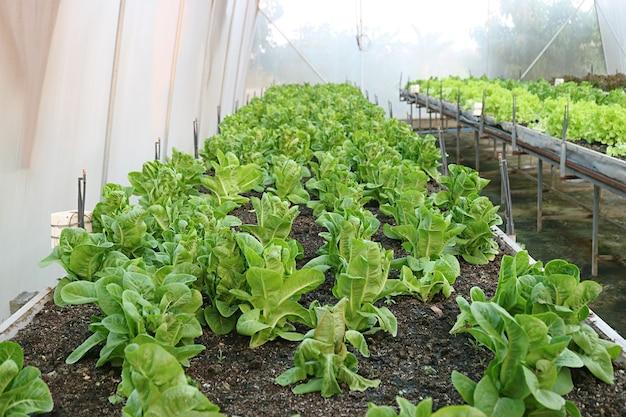 温室で育つ活気に満ちた緑の赤ちゃんコスレタスの列