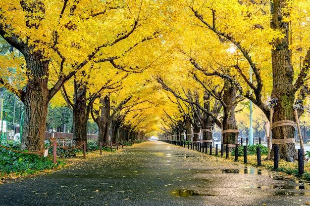 秋の黄色のイチョウの木の行。東京の秋の公園。