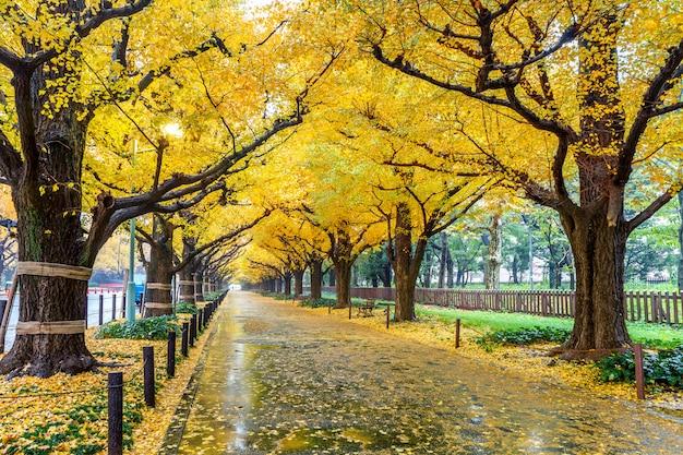 가을 노란 은행 나무의 행