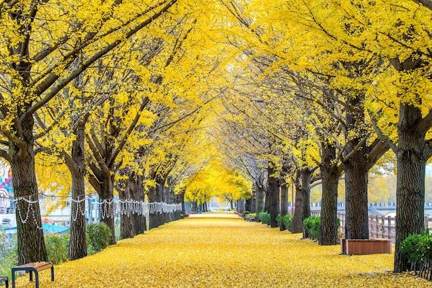 牙山、韓国の黄色い銀杏の木の列