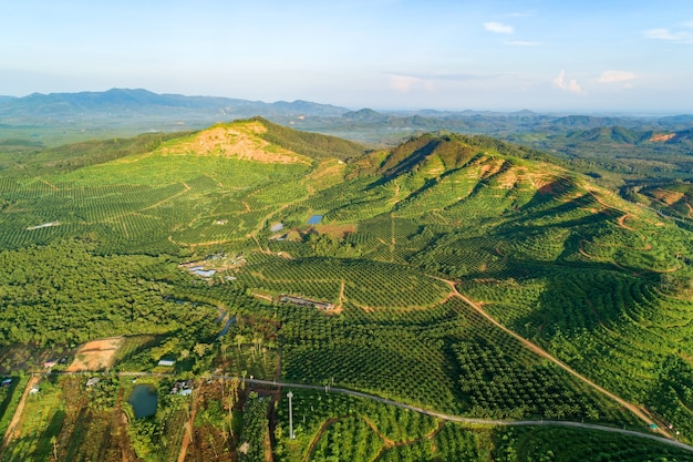 Row of palm tree plantation garden on high mountain in phang nga thailand. aerial view of beautiful nature landscape.
