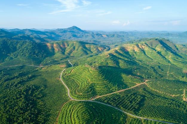 Row of palm tree plantation garden on high mountain in phang nga thailand