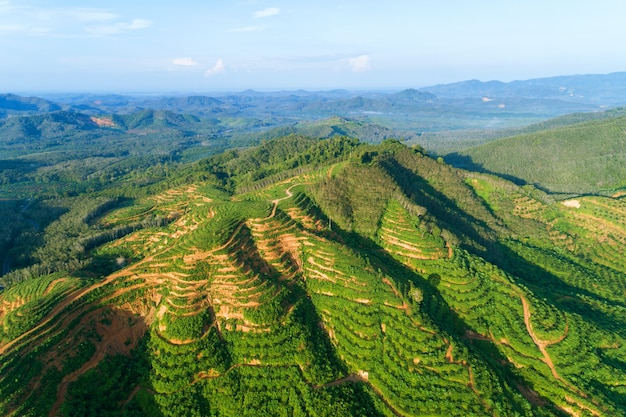 Row of palm trees plantation garden on high mountain in phang nga thailand aerial view drone shot