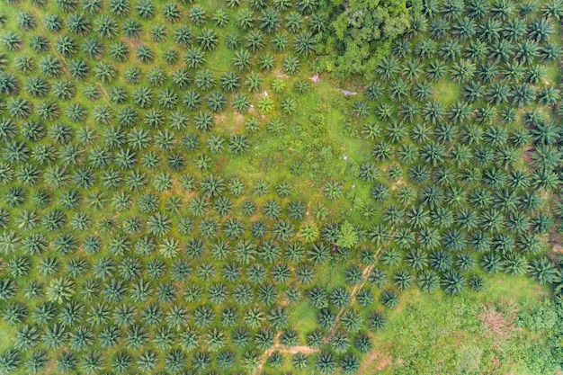 Row of palm trees plantation garden on high mountain in phang nga thailand aerial view drone