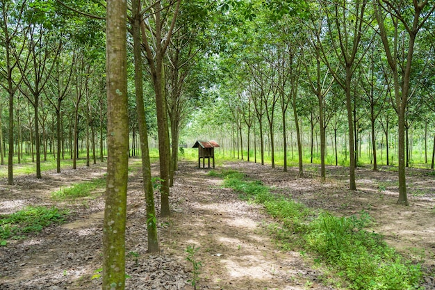 Row of para rubber tree garden