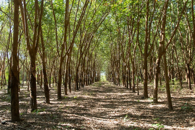 Row of para rubber tree. rubber plantation