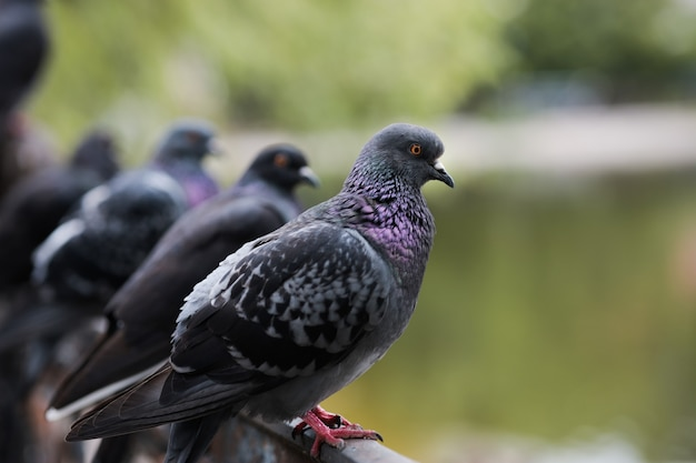 A row of pigeons sitting on a fence look at the park lake