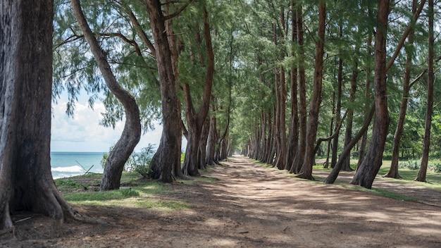 Row of pine trees near the beach at phuket thailand.
