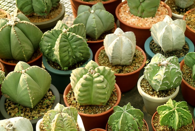 Row of potted round shaped mini succulent plants in the warm sunlight