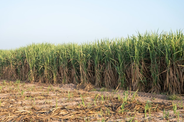 A row of sugar cane plant at sunrise