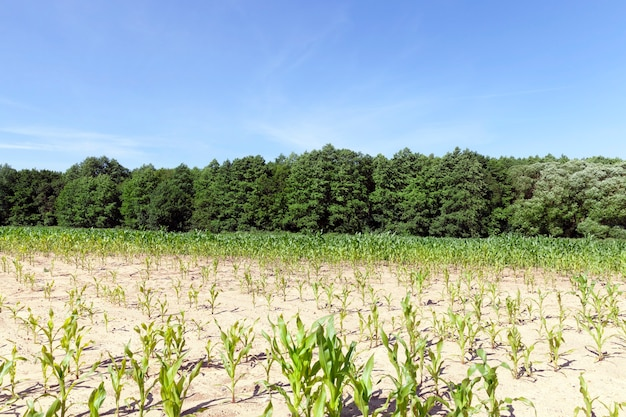 Row of sunlit young corn green. landscape of an agricultural field with blue sky and trees in the forest