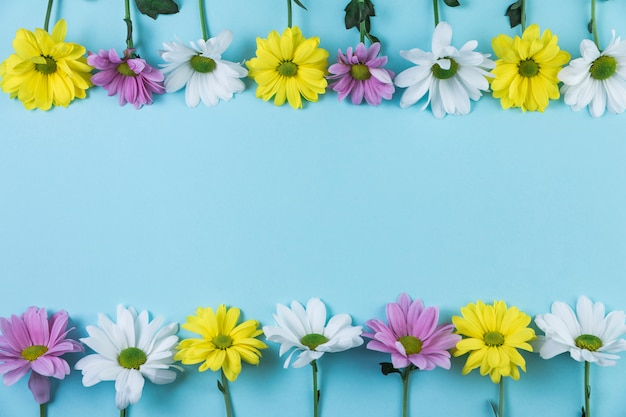 Row of top and bottom yellow; white; pink chamomile flowers against blue background