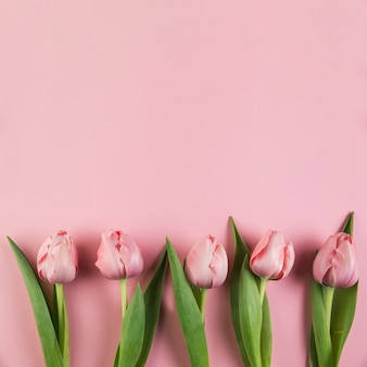 Row of tulips against pink background