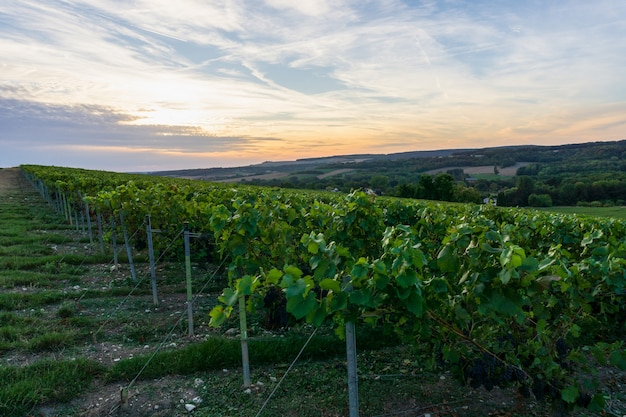 Row vine grape in champagne vineyards at montagne de reims, reims, france