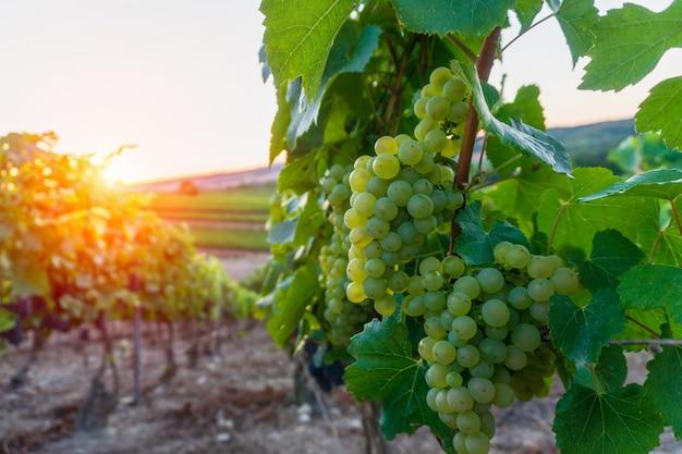 Row vine grape in champagne vineyards at montagne de reims