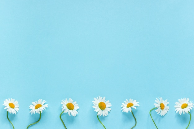 Row of white chamomiles daisies flowers on pastel blue color paper background