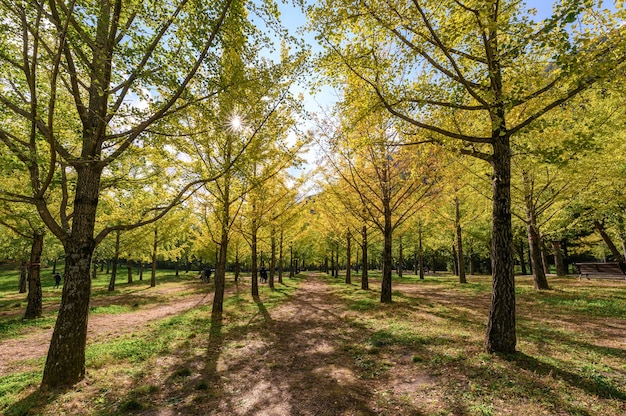 Row of yellow ginkgo biloba trees with sunlight in garden on autumn