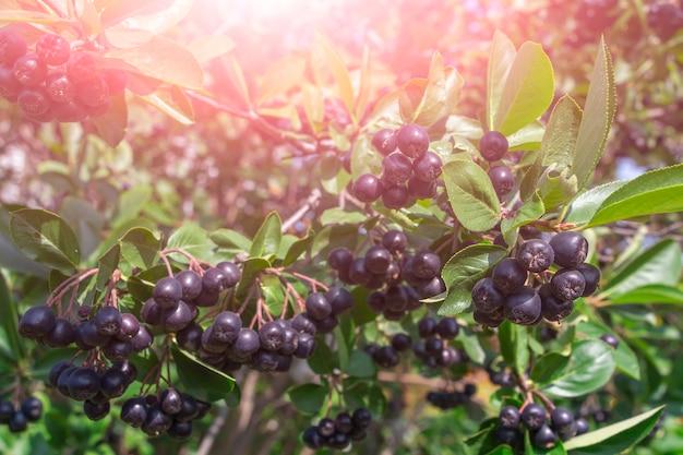 ナナカマド、アロニアアロニア、チョークベリー(ラテン語アロニアメラノカルパ)の枝。秋の背景